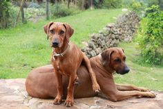 """My Ridgeback dogs (Lucy & Leo)!  Always entertaining"" By Murrae Stephens"