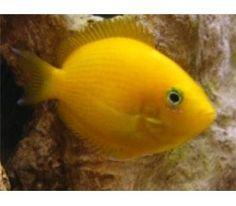 Orange Chromide cichlid regular (One left) Animal Pictures, Cute Pictures, African Cichlids, Freshwater Fish, Aquariums, Tropical Fish, Aquarium Fish, Fresh Water, Orange