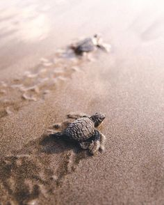 Making it Back to the Ocean Bali Indonesia. Photo by. Cute Baby Turtles, Cute Baby Animals, Ninja Turtles, Ocean Photography, Animal Photography, Marinha Wallpaper, Nature Animals, Animals And Pets, Tropical Animals