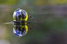 Una hormiga empujando una esfera de agua