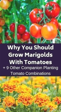 If you want to have the biggest and best tomatoes, consider companion planting. Here are ten plants that will help your tomatoes taste delicious. vegetable garden Why You Should Grow Marigolds With Tomatoes + 9 Other Companion Planting Tomato Combinations