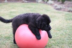 Newfoundland puppy on an exercise ball