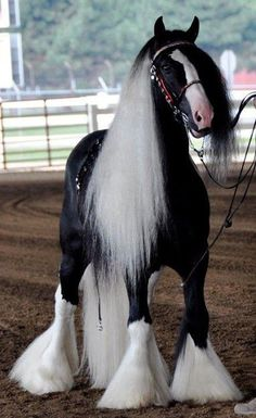shire horse wow!!! He is beautiful!!!