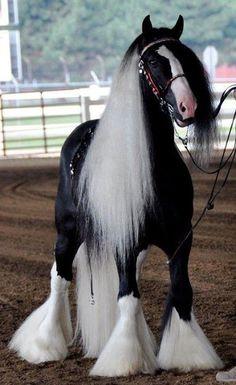 shire horse wow!!! He is beautiful!!!