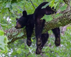 Black Bear - A black bear rests on a tree branch, Great Smoky Mountains National Park, TN, USA