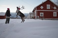 This is Ulrika and one of her reindeers, Rudolf. She clicker trains them to do tricks. Kluk, Jämtland Sweden.