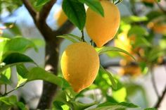 The Garden of Eaden: HOW TO GROW A LEMON TREE FROM SEED