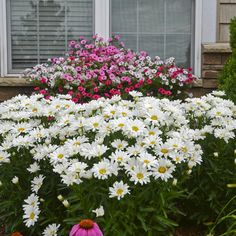 """Truly one of the best daisies, 'Daisy May' bears a solid dome of large, pure white flowers on strong, non-flopping stems that grow 12-24"""" tall. Cut the plant back by 1/3 after the first round of blooms and expect another full round a month later."""
