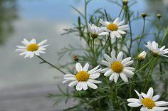 Daisies By The Lake  by Ann Bridges #daisies
