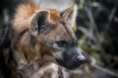 Rare Animals, Animals And Pets, Strange Animals, Hyena Tattoo, Cat Reference, Wolf Photos, Pet Rats, Wild Dogs, African Animals