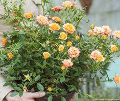 Rosier en pot #arbuste #rosier #detentejardin