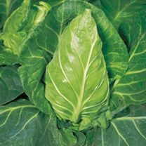 Cabbage Seeds - Greyhound at Suttons Seeds