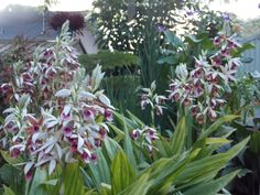 Lots of nun 's orchids !!