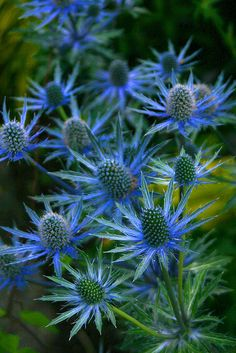 Looking for a fascinating addition to the garden? Then why not consider growing sea holly flowers. Exotic Flowers, Wild Flowers, Beautiful Flowers, Amazing Gardens, Beautiful Gardens, Sea Holly, Holly Blue, Olive Garden, Garden Cottage