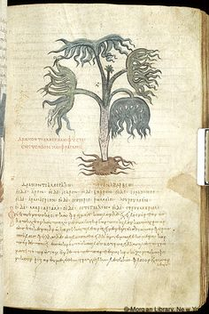 De materia medica, MS M.652 fol. 39r - Images from Medieval and Renaissance Manuscripts - The Morgan Library & Museum