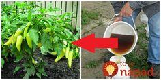 Tento recept je úžasný v tom, že vďaka nemu dokážete aj s neskôr vysadenými, slabými a málo rodiacimi rastlinkami zázraky. Garden Crafts, Collage, Plants, Gardening, Collages, Lawn And Garden, Collage Art, Plant, Planets