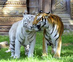 Hello, My Friend!  Bengal Tigers - http://www.1pic4u.com/blog/2014/09/18/hello-my-friend-bengal-tigers/
