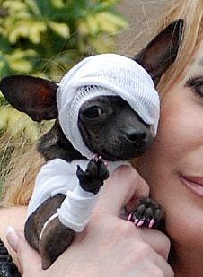 Dixie's Halloween costume! Chihuahua Halloween Costumes, Pet Costumes, Creative Halloween Costumes, Halloween Stuff, Halloween Costume Contest Winners, Funny Animals, Cute Animals, Captain American, Cute Chihuahua
