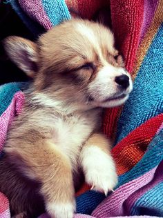Corgi. This is the kind of dog I want so bad!