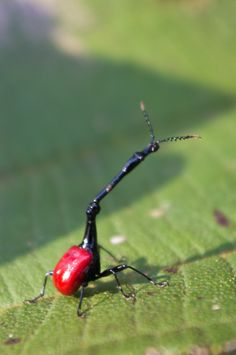 The male giraffe weevil of Madagscar uses its elongated neck to fight for mating rights!