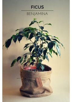 Un Ficus Benjamina para tu living comedor.