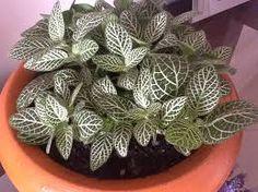fitonia House Plants, Succulents, Gardening, Flowers, Gardens, Plants, Indoor House Plants, Lawn And Garden, Foliage Plants