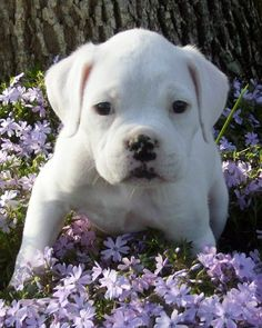 look at this baby.  Have had two White Boxers and they are the best!!!!!
