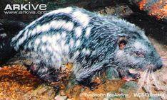 pacarana | Pacarana photo - Dinomys branickii - G106859 | Arkive Side Profile, Rodents, Closure, Animals, Animales, Animaux, Animal, Animais