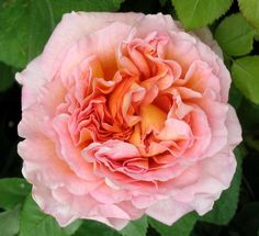 David Austin - Abraham Darby.  I have this rose in my garden and colors are so romantic.  that and it smells lemony...