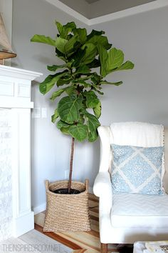 Fiddle Leaf Fig Tree available from Brookfiled Gardens plant nursery and possibly Rosalie plant nursery call first to check in stock Buy a large white or grey pot for i. Fig Leaf Tree, Fiddle Leaf Fig Tree, Fig Leaves, Indoor Fig Trees, Living Room New York, Antique Cabinets, Bedroom Green, Trendy Bedroom, Better Homes And Gardens