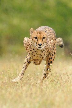 Beautiful Cats, Animals Beautiful, Big Cats, Cats And Kittens, Jaguar, Animals And Pets, Cute Animals, Wild Animals, Gato Grande