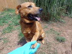 11/201611/2015Meet Rocketman, a Petfinder adoptable Labrador Retriever Dog | Lawrenceville, GA | ROCKETMAN AND FARRAH (ON THIS SITE - A HOUND MIX) WERE DUMPED ON THE ROAD WHILE SHE WAS PREGNANT....