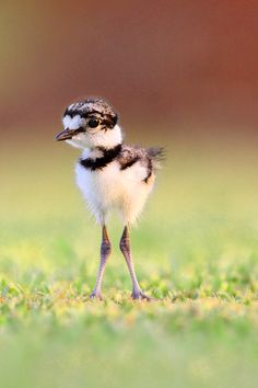 Baby Killdeer by Jude Haase