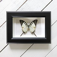 Real framed butterfly: Graphium antiphates // shadowbox // mounted // gift for her // housewarming gift // natural decoration