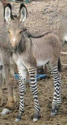 Zedonk = zebra/donkey hybrid