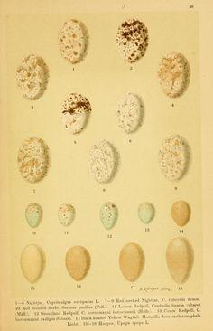 The eggs of European birds / - Biodiversity Heritage Library