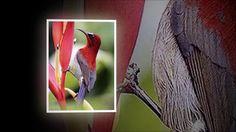 Alcuni uccelli del Madagascar