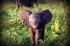 Un tout mignon éléphanteau