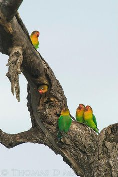 Lovebirds Cute Birds, Pretty Birds, Beautiful Birds, African Lovebirds, Feather Pattern, Parakeets, African Animals, Swans, Wild Birds