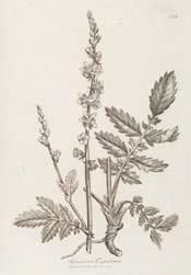 Agrimony sketch - The whole plant is deep green and covered with soft hairs, and. Healing Herbs, Medicinal Plants, Language Of Flowers, Organic Herbs, Soft Hair, Dark Ages, Natural Baby, Planting Seeds, Hedges