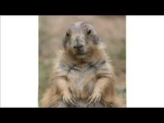 Marmotte Chiante - Bonne fête / Bon anniversaire