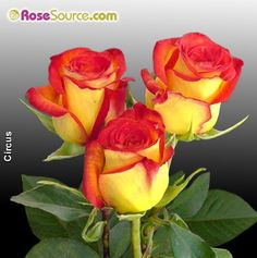 I love these roses! I want to plant some in my non existent garden