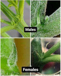 Weed Facts, Marijuana Facts, Cannabis Plant, Growing Herbs, Growing Weed Indoors, Indoor Farming, Cannabis Growing, Medical Marijuana, Medicinal Plants