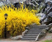 Forsythia, early spring bloomer