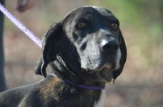 #VIRGINA ~ Patty 45646 is a Spayed #senior Plott Hound mix in need of a loving #adopter / #rescue at SHENANDOA VALLEY ANIMAL SERVICE CTR 1001 Mt Torey Rd #Lyndhurst VA 22952     Ph 540-943-5142