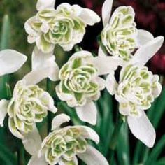 Double Snowdrops just- £14.50 per 100