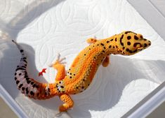 Home Leopard Geckos for Sale Cute Reptiles, Reptiles And Amphibians, Pet Lizards, Types Of Animals, Leopard Geckos, Bold Stripes, Polymer Clay Crafts, Halloween Masks, Dragons