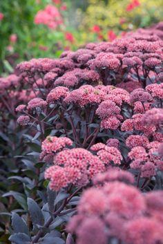 Buy Sedum Jose Aubergine Online | Hayloft Plants