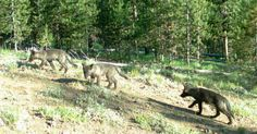 See How A Single Pack Of Wolves Can Change The Course Of Nature