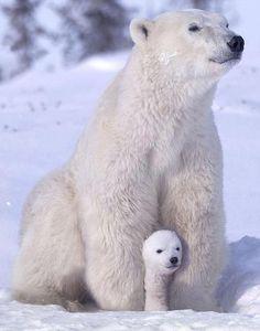 mamãe ursa
